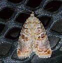 Moth - Diastema tigris