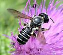 Pugnacious Leaf-cutter Bee - Megachile pugnata