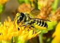 Is this Megachile fidelis?  - Megachile
