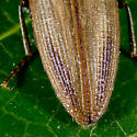 Unknown Click Beetle - Ctenicera kendalli