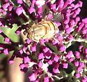 Flower Fly (Eristalinus taeniops) on buddeleia  - Eristalinus taeniops