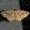 Homochlodes sp. Moth - Homochlodes