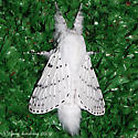 Dot-lined White - Hodges#7683 - Artace cribrarius