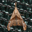 Dark-spotted Palthis Moth - Palthis angulalis