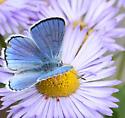 Blue Copper - Lycaena heteronea - male