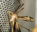 Crane Fly - female