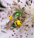 Metallic Green Bee - Agapostemon texanus - female