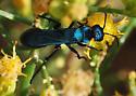 Large, blue wasp - Psorthaspis planata - female