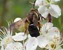 Tenthredinidae sp ? - Andrena crataegi - female