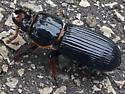 Unidentified Beetle - Odontotaenius disjunctus