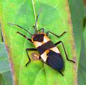 Black and orange beetle? - Oncopeltus fasciatus