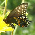 Black Swallowtail - Papilio polyxenes ? - Papilio polyxenes