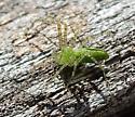 tiny Lynx spider? - Peucetia longipalpis