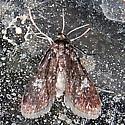 Synclita tinealis - Elophila tinealis