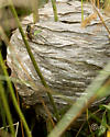hornet - Dolichovespula arenaria