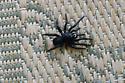 Unidentified spider - Ummidia