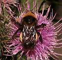 Black-and-gold Bumble Bee, dorsal - Bombus auricomus - female