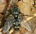 Tachinomyia - male