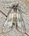 Pyraloidea ? - Elophila