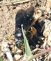 Bee of some kind --?? - Pseudopanurgus aethiops - female