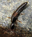 Rove Beetle - Xantholinus linearis