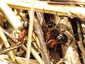 Big Red Ants - Formica integra