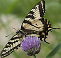 Swallowtail? - Papilio canadensis - female