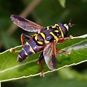 large hoverfly - Meromacrus acutus