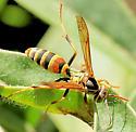 Polistes sp.? - Polistes dorsalis - male