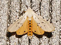 White and yellow moth - Estigmene acrea - male