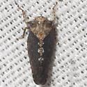 Deltocephalinae Leafhopper - Excultanus excultus