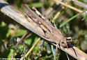 Brown-Red Grasshopper - Chortophaga viridifasciata - female