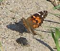 Chewed up Painted Lady - Vanessa cardui