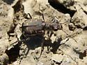Common Shore Tiger Beetle? - Cicindela repanda