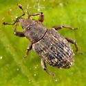 weevil - Bagous nebulosus