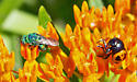A sparkly green bee or wasp?