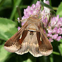 Celery Looper Moth? - Anagrapha falcifera