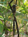 Lance-tipped Darner? - Aeshna constricta