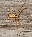 running crab spider - Philodromus rufus - female