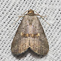 Yellow-spotted Graylet - Hodges#9039 - Hyperstrotia flaviguttata