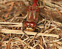 Meadowhawk - Sympetrum pallipes - male