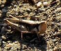 small grasshopper - Psoloessa