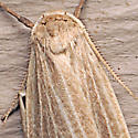 Crambidia lithosioides - male
