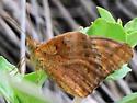 Mexican Fritillary - Euptoieta hegesia