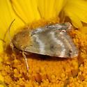 Moth - Schinia miniana