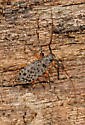 small long-horned beetle - Hyperplatys aspersa