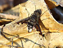 Bee Fly - Anthrax albofasciatus