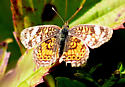 Pearl Crescent - A - Phyciodes tharos