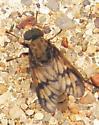 Sidewalk Fly ID - Rhagio