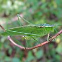 Treetop Bush Katydid - Scudderia fasciata - male